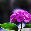 写真: 紫陽花6-4