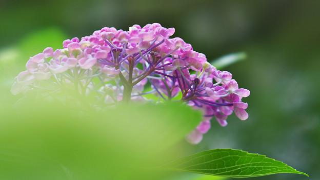 紫陽花6-5