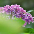 写真: 紫陽花6-5
