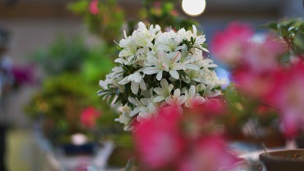 サツキ盆栽展4-2