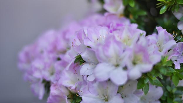 サツキ盆栽展4-6