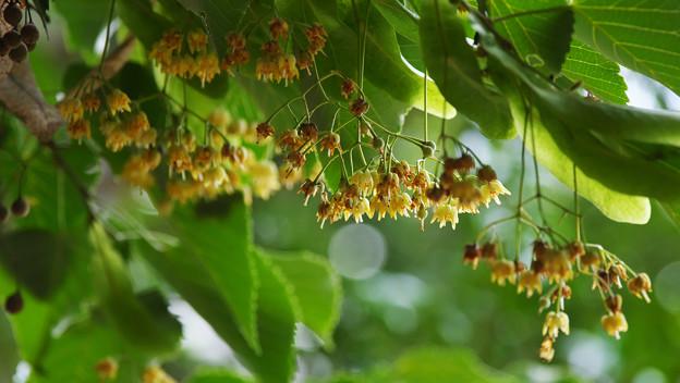 水無月の花_5 菩提樹