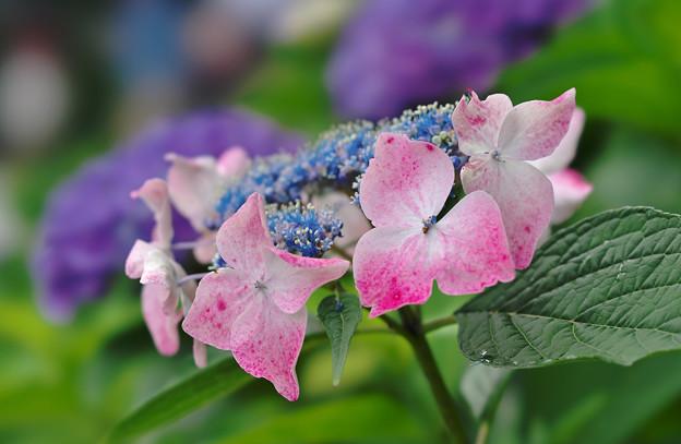 紫陽花9-4