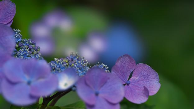 紫陽花9-6