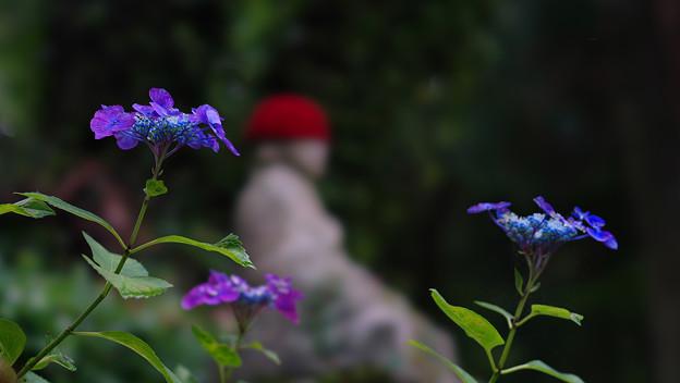 紫陽花10-2