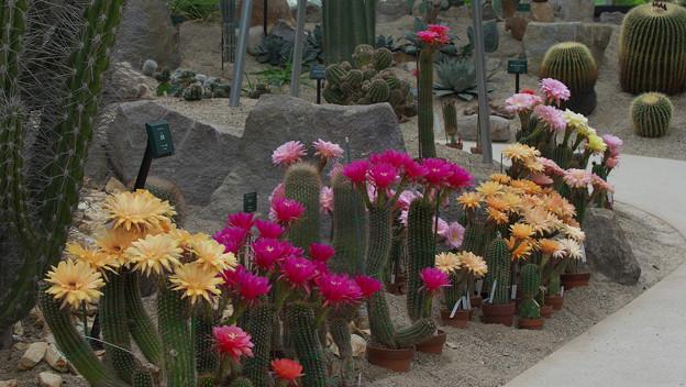 サボテンの花20-2