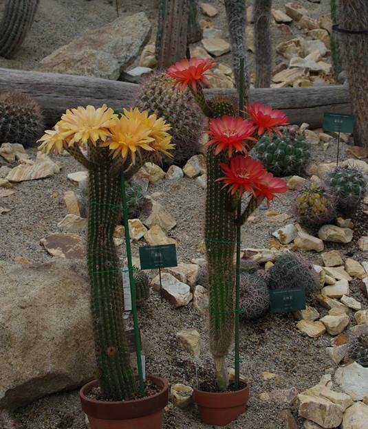 サボテンの花20-3