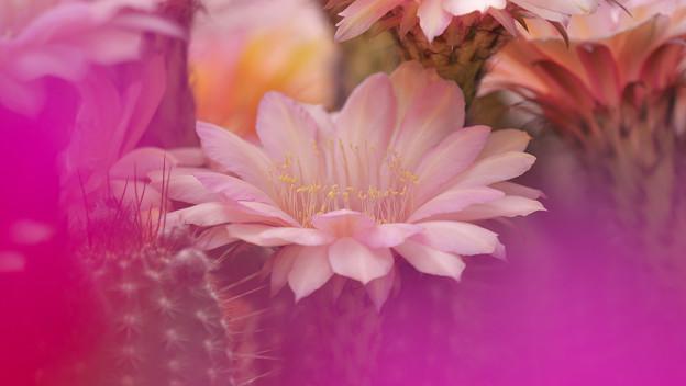 サボテンの花20-4