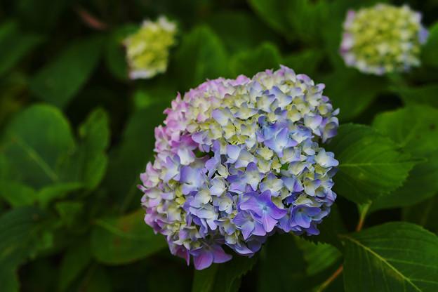 紫陽花11-6