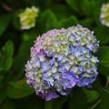 写真: 紫陽花11-6