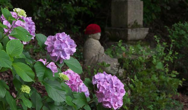 紫陽花12-2