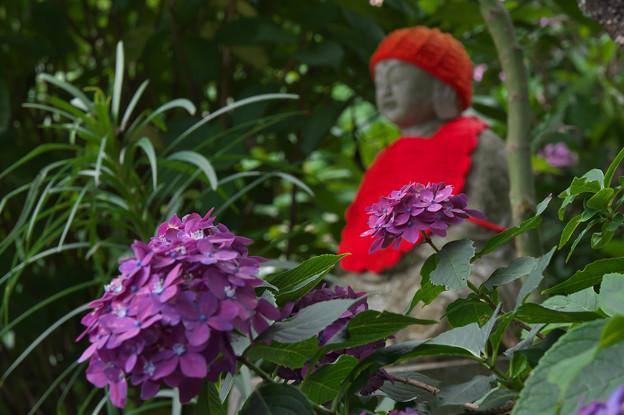 紫陽花12-6