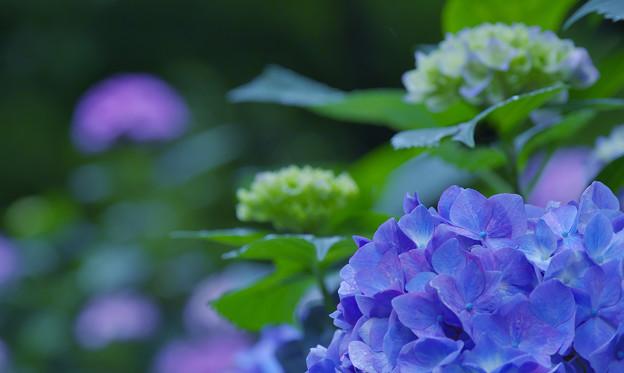 写真: 紫陽花13-4