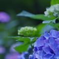 紫陽花13-4