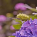 写真: 紫陽花13-5