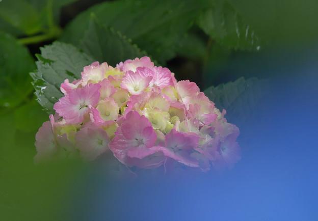 紫陽花14-2