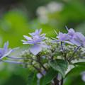 紫陽花14-4