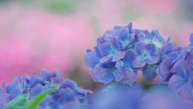 紫陽花14-5