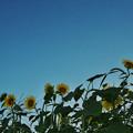 向日葵1-2
