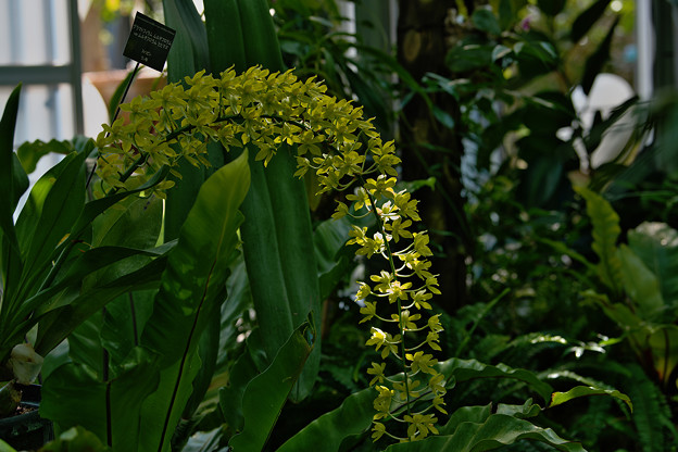 Grmmatophylum multiflorum var. multiflorum.'Hihimanu'
