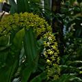 写真: Grmmatophylum multiflorum var. multiflorum.'Hihimanu'