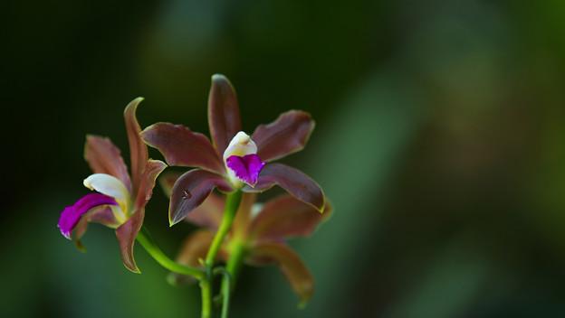 写真: Cattleya bicolor