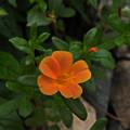 写真: 小 花1_3