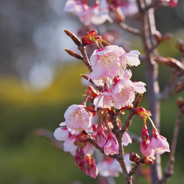 薄寒桜1-