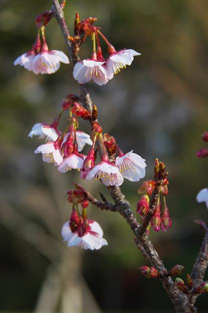 薄寒桜1-2