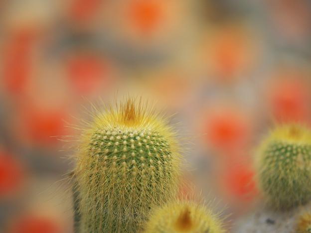 サボテンの花_5