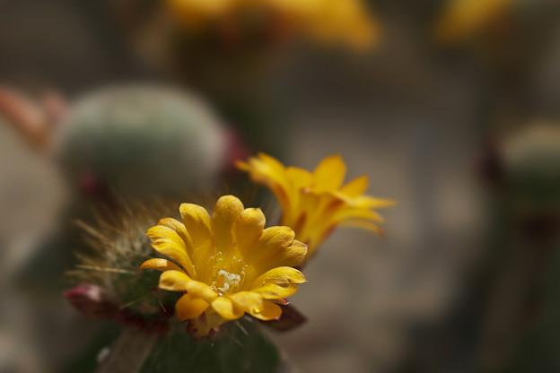 サボテンの花_6