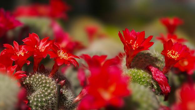 サボテンの花_7