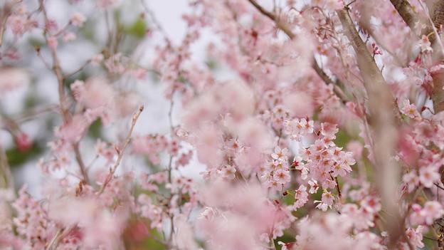 啓翁桜2-4