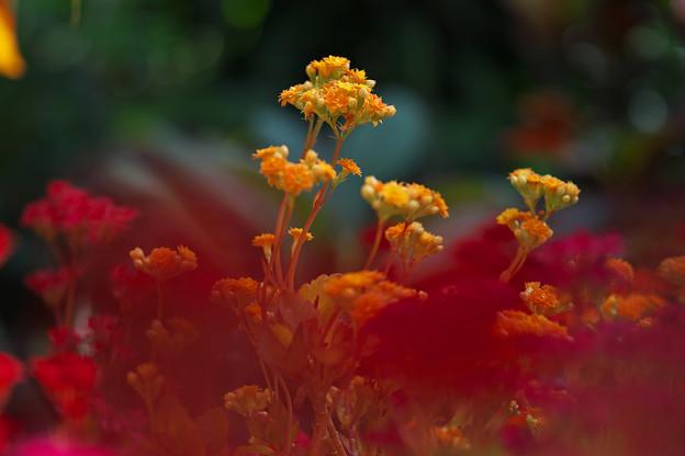 多肉植物の花・2