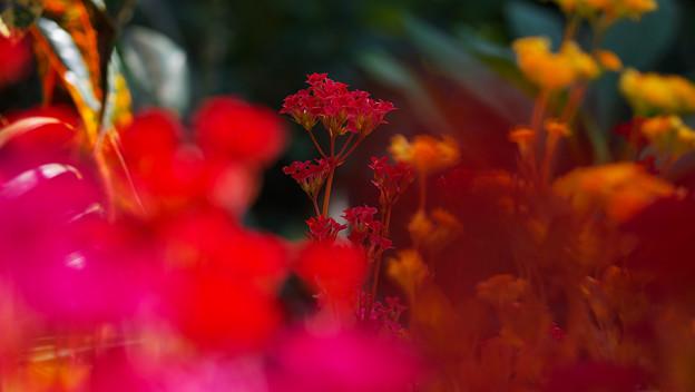 多肉植物の花・3