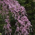 しだれ桜1-2