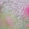 しだれ桜1-3