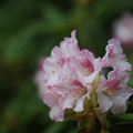 Photos: 石楠花2-1