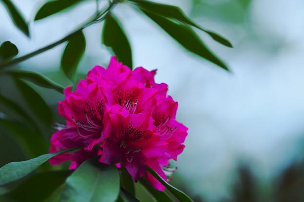 Photos: 石楠花2-3