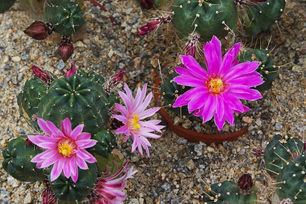 サボテンの花2-1