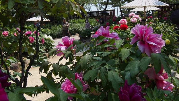 Photos: 牡丹祭り3-1