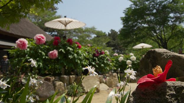 Photos: 牡丹祭り3-3