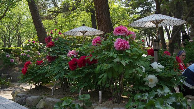 Photos: 牡丹祭り3-5