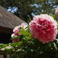 Photos: 牡丹祭り4-2