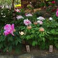 Photos: 牡丹祭り4-3