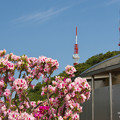 Photos: 大平山・山頂公園のツツジ1-3