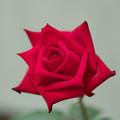 春のバラ展3-1