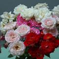 Photos: 春のバラ展3-4