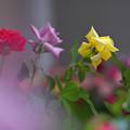 春のバラ展3-6