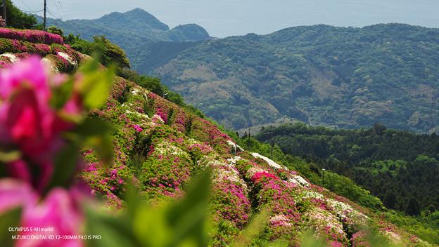 大平山・山頂公園のツツジ6-2